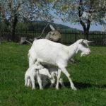 Kůzlata na rodinné farmě Pod Zvičinou v Úhlejově